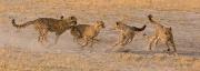 Ray Hewett_Cheetah Cubs Playing