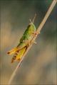 Jenny Collier_Meadow Grasshopper