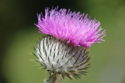 Penny Harper_A Lone Thistle