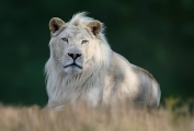 Peter North_White Lion