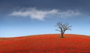 Peter North_Dead Tree Poppies