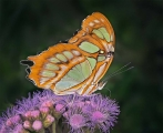 Peter-North_Malachite-Butterfly