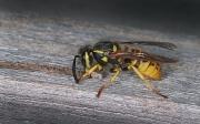 Peter-North_Wasp-Harvesting-Wood-Pulp