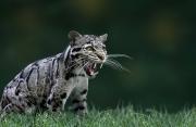 Peter North_Wild Cat
