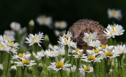 Peter-North_Hiding-in-the-Daisies