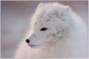 Alan-Linsdell_Tasting-the-air-Arctic-Fox