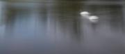 Roger Care_Swan Lake
