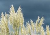 Rosemary Burt_Pampass grass