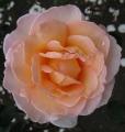 Rosemary Burt_rose after the rain